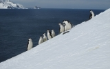 Image of the Day: Chinstrap Penguins on Slippery Slope