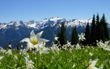 Image of the Day: Avalanche Lilies on Mount Rainier