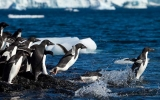 Image of the Day: Perilous Plight of Adélies Penguins