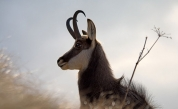 Climate Change Seems to Be Shrinking Goats