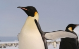 Warming Puts Emperor Penguins at Risk of Extinction