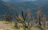 Warming Endangers a Crucial Yellowstone Tree